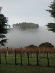 Layer of mist covering rows of grapevines, Bideford