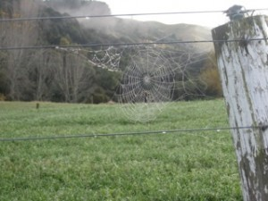 Spider's web, wet with dew